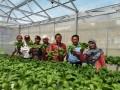 Manajer Unit Pengembangan Ekonomi Kantor Perwakilan BI Provinsi Kepulauan Babel, Sudarta melakukana panen perdana sayuran hidroponik di Pesantren Bahrul Ulum Sungailiat, Rabu (5/4). (antarababel.com/Septi Artiana)