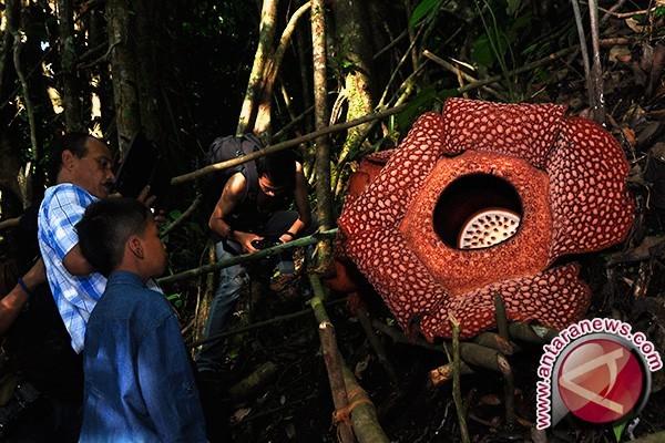 Tiga Rafflesia Gadutensis Mekar di Hutan Boven Lais