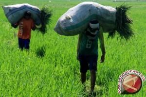 Bangka Barat Kembangkan Rumput Pakan Ternak