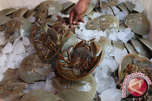 Sembilan Belangkas Dilepasliarkan di Rohil