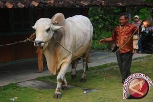 Presiden Jokowi Juga Sumbang Sapi Kurban Untuk Warga Bengkulu