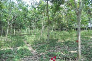 Petani Bangka Selatan keluhkan harga karet murah