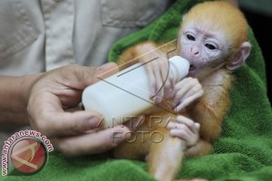 "Lutung Jawa Langka Lahir di ""Bali Zoo"""