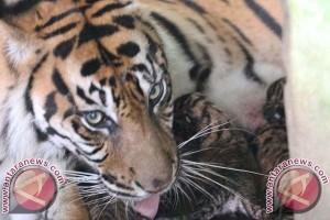 Bukittinggi Beri Dua Ekor Harimau Sumatera ke Bali Zoo