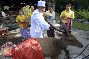 """Bali Zoo Gelar Ritual """"Tumpek Kandang"""""""
