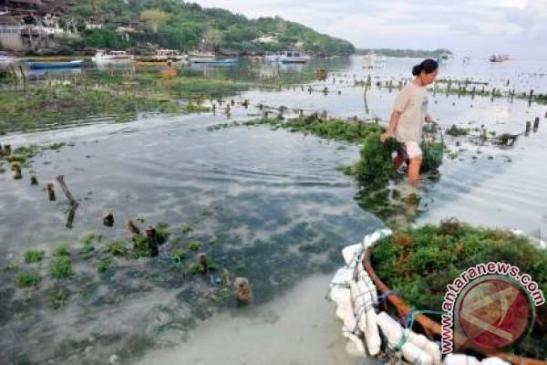 """BI Bali """"hidupkan"""" pertanian rumput laut Nusa Penida"""