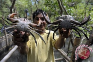 Badung Mendorong Nelayan Optimalkan Budidaya Kepiting Bakau