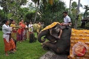 Umat Hindu Gelar Kegiatan Ritual Tumpek Kandang
