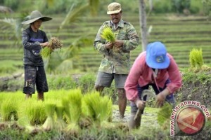 Bali Optimalisasi Tanaman Padi 750 Hektare