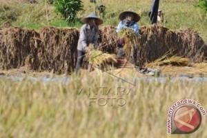 Petani Bali Sayangkan HPP Gabah Masih Rendah