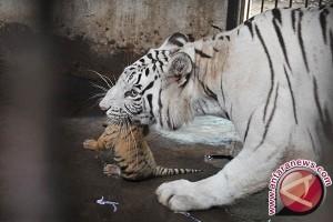 Bali Zoo Berhasil Membiakkan Harimau Benggala Langka