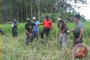 Petani-TNI Buru Tikus di Tabanan