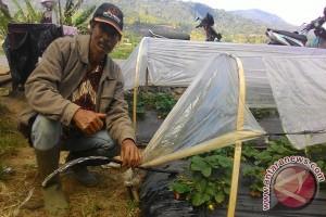 Petani Stroberi Pancasari Gunakan Pompa Atasi Kekeringan