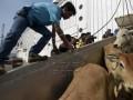 Petugas melakukan aktivitas bongkar muat sapi impor yang baru saj