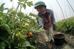 Petani Tomat Tabanan Merugi Akibat Kekeringan