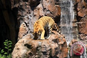 Bali Safari Tambah Wisata Edukasi Harimau Sumatera