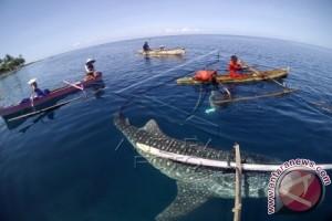 Wisata Berenang Bersama Hiu Paus di Teluk Cenderawasih