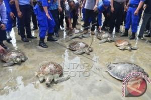 Nusa Dua Reef Foundation Awasi Pengembangbiakan Penyu