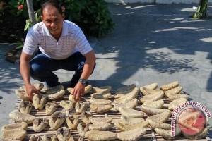 """""""Timun Laut"""" Nusantara Diminati Pasar Dunia"""