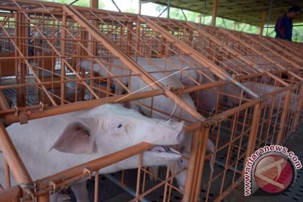 Penyelundupan Kulit Babi di Pelabuhan Gilimanuk Digagalkan