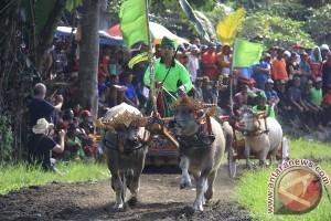Ribuan Orang Tonton Pacuan Kerbau Khas Jembrana