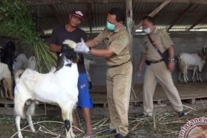 Petugas Dinas Pertanian-Pangan Jembrana Periksa Kesehatan Hewan Kurban
