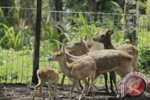 Bali Zoo Evakuasi Rusa Zona Merah Gunung Agung