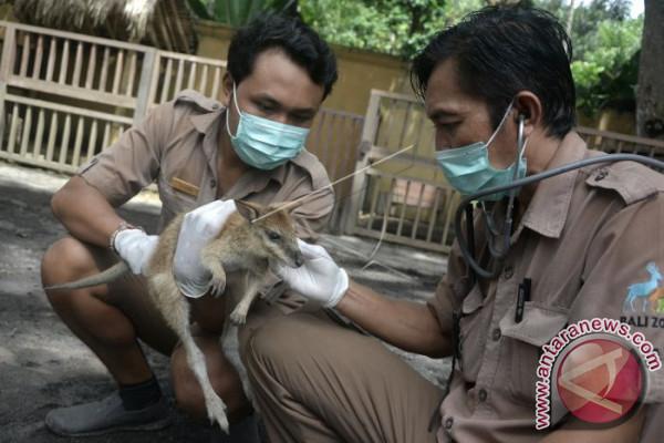 Pengelola Bali Zoo Antisipasi Abu Vulkanis Gunung Agung