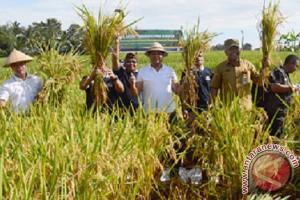 Uji coba padi M400 di Gianyar hasilkan 9 ton/ha