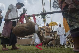 Di Besakih, umat Hindu ikuti 'Mepepada' hewan kurban (video)