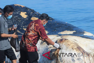 Sperm whale stranded at Bungkulan Beach