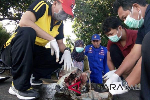 Tim Undiksha temukan plastik dalam penyu mati