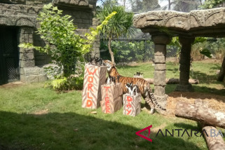 Bali Zoo stimulasi kemampuan berburu harimau kembar tiga (video)