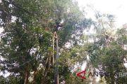 Petani cengkih di Buleleng panen raya