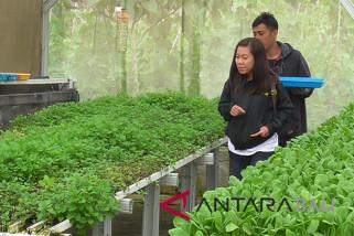 Sayur hidroponik dari Buleleng rambah restoran-hotel
