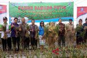 BI Bali panen perdana bawang putih di Buleleng