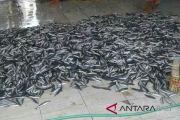 Nelayan Jembrana panen ikan
