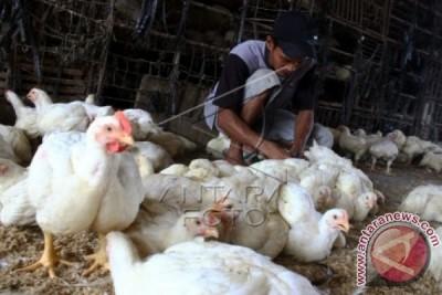 Distanak Banten Imbau Peternak Waspadai Flu Burung