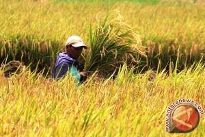 Produksi Padi Banten 2015 Diprediksi Naik 6,32 Persen