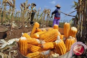 Banten Targetkan Produksi Jagung 38 Ribu Ton