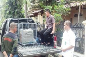 BKSDA Jabar Amankan Monyet Ekor Panjang Liar