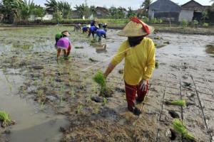 Pemkab Lebak Kembangkan Pertanian Atasi Kemiskinan