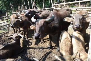 Permintaan Ternak Kerbau Di Lebak Meningkat