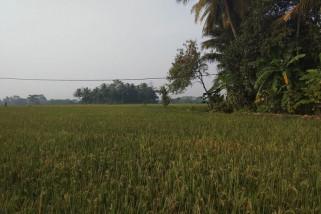 Puluhan Hektar Sawah Di Lebak Terkena Hama Tikus
