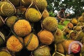 Distanbun Lebak Kembangkan Durian Varietas Musang King