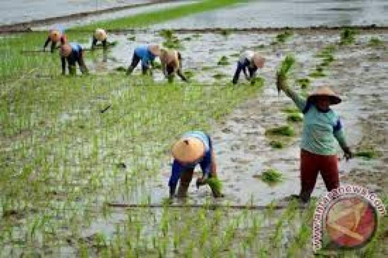 Pengembangan Padi Sawah Masih Jadi Andalan  Petani Lebak