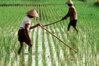 Perguuliran Nilai Ekonomi Pertanian Lebak Rp1,2 Triliun