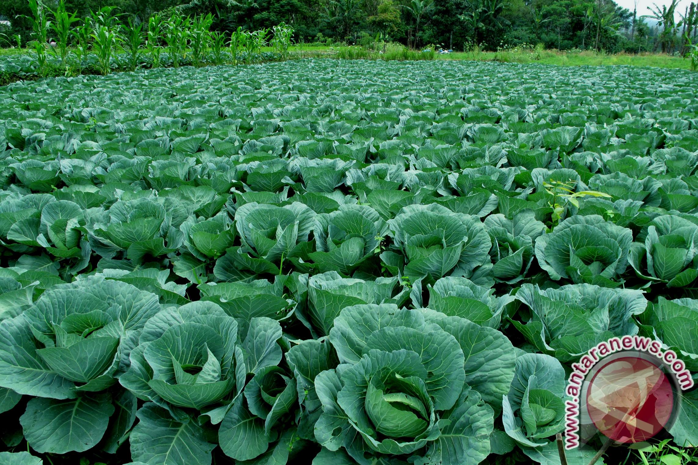 Berkebun sayuran di pekarangan rumah