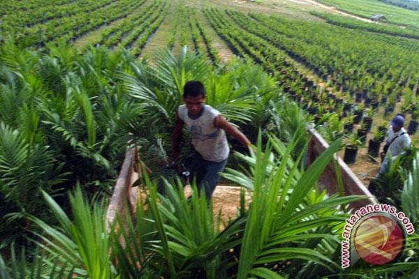 Musim kemarau petani hentikan pemupukan sawit