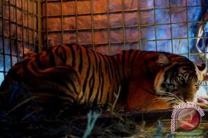 BKSDA pantau kemunculan harimau di Ketahun
